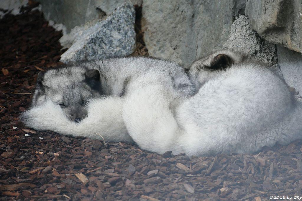 Polarfuchs (Eisfuchs)