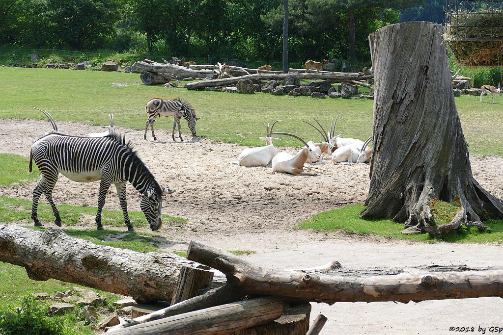 Grévy-Zebra, Säbelantilope, Weißnacken-Moorantilope (Mrs. Grays Wasserbock), Thomsongazelle