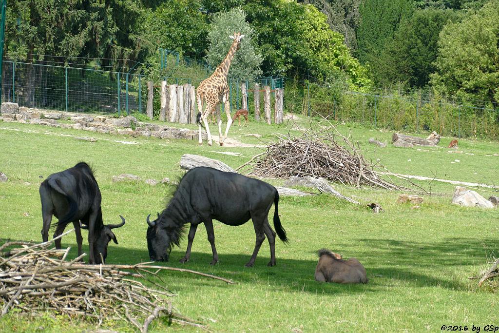 Streifengnu, Jungtier geb. am 14.5.16, Rothschildgiraffe (Uganda-Giraffe, Baringo-Giraffe), Impala (Schwarzfersenantilope)