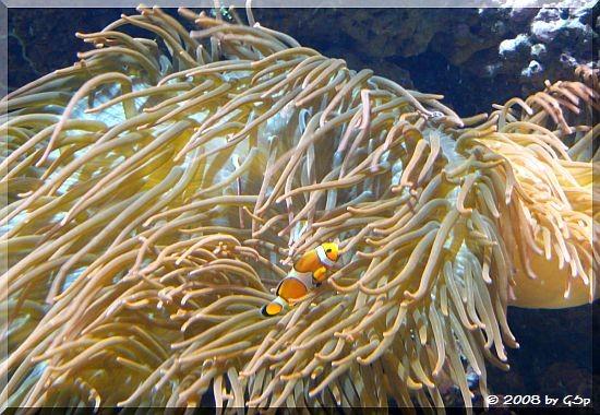 Clown-Anemonenfisch und Kupferanemone