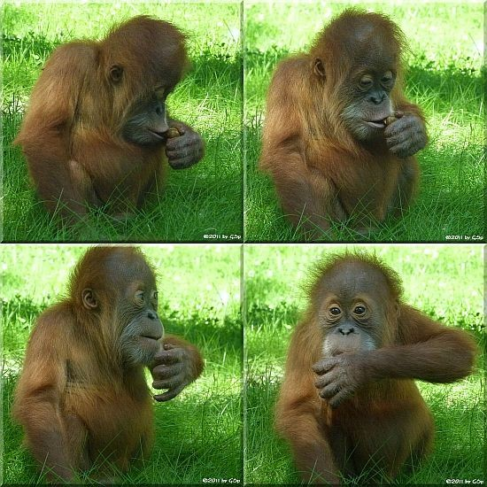 Sumatra-Orang-Utan DODI, geb. am 24.11.09