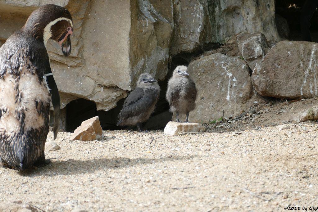 Humboldtpinguin, Inkaseeschwalbe