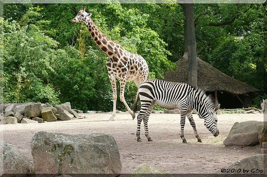 Rothschild-Giraffe, Hartmann Berg-zebra