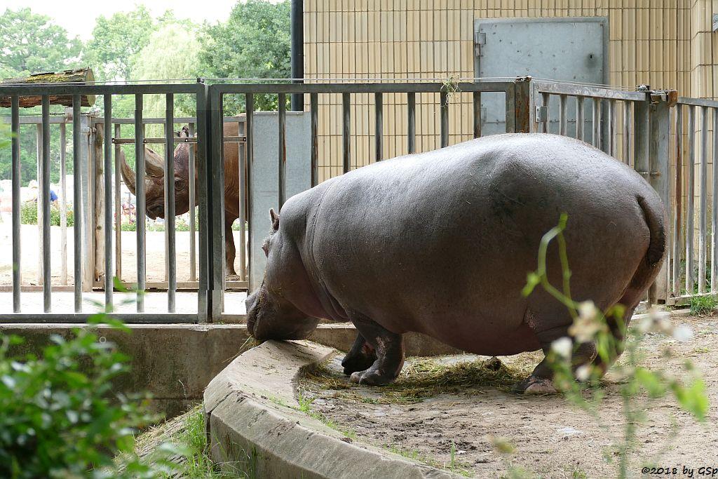 Flusspferd (Nilpferd) PETRA, im Hintergrund Spitzmaulnashorn KALUSHO