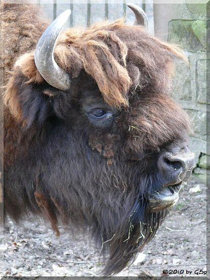 Präriebison (Amerikanischer Bison)