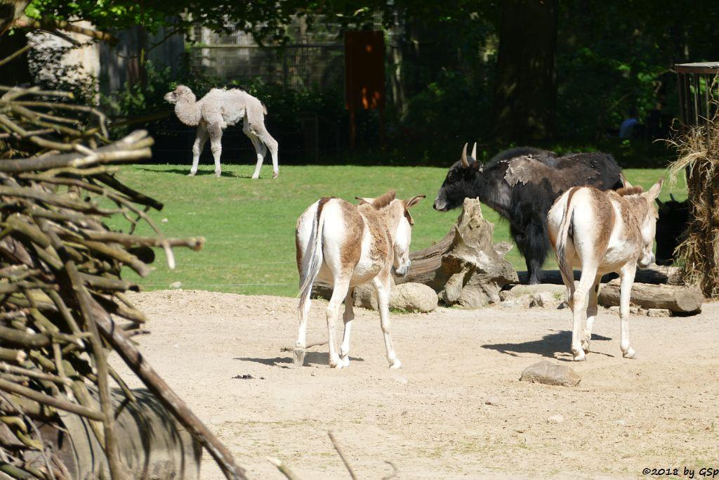 Trampeltier (Zweihöckriges Kamel, Hauskamel), Kulan (Turkmenischer Halbesel), Hausyak