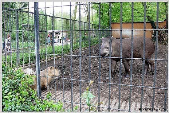 Flachlandtapir und Capybara