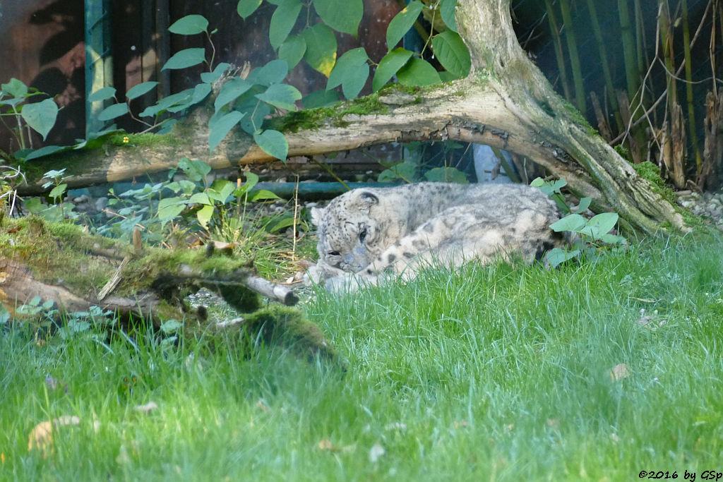Schneeleopard (Irbis) FELIX, gest.30.01.17