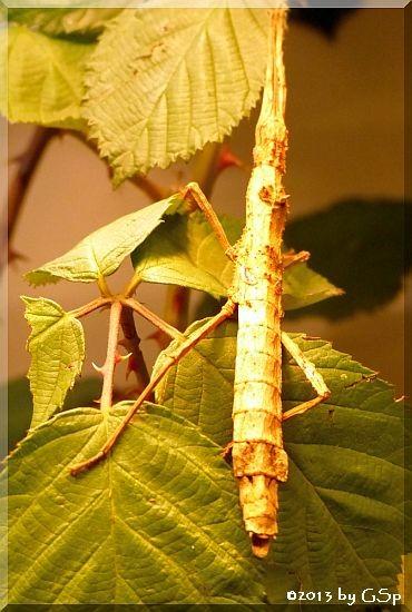 Birkenstabschrecke