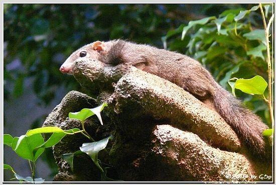 Spitzhörnchen Tupaia