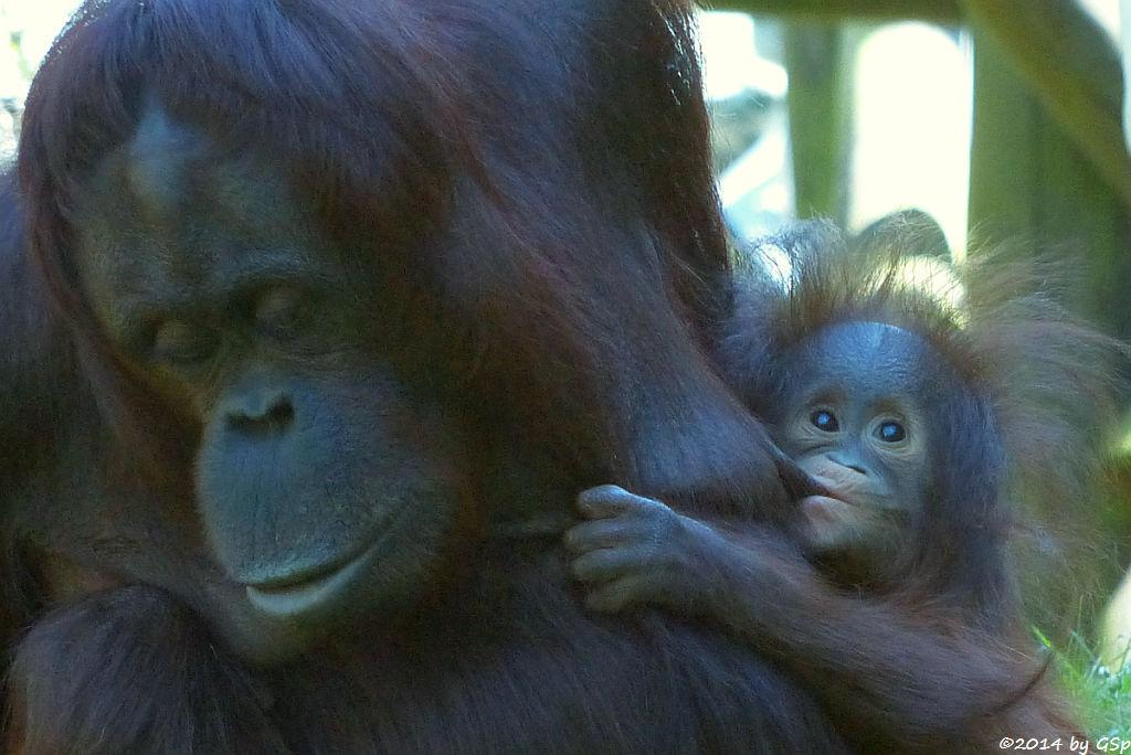 Borneo-Orang-Utan CORI mit ihrer Tochter CIRI