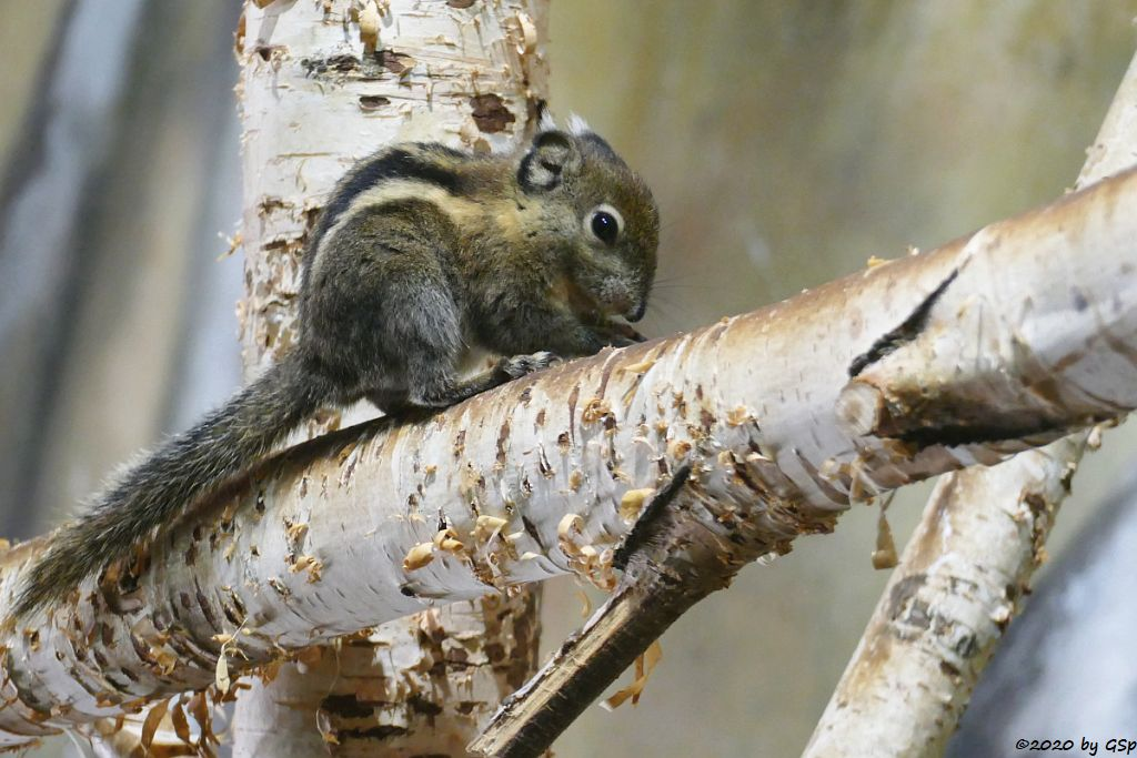 Swinhoe-Zwergstreifenhörnchen (Chines. Zwergstreifenhörnchen, Chines. Baumhörnchen