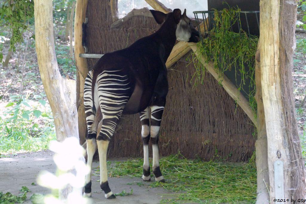 Okapi (Kurzuhalsgiraffe, Waldgiraffe)
