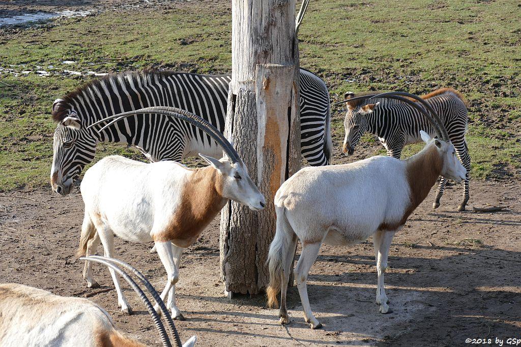 Säbelantilope, Grévy-Zebra