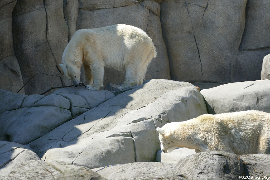 Eisbär VICTORIA und BLIZZARD