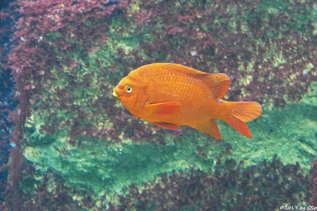 Garibaldifisch