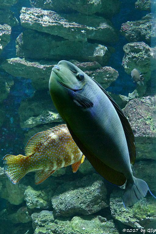 Juwelen-Zackenbarsch (Blaupunkt-Zackenbarsch),  Masken-Nasendoktorfisch (Vlamings Doktorfisch)