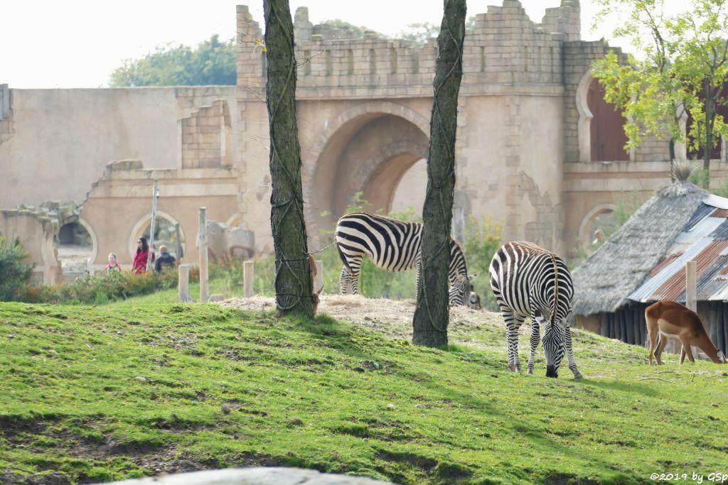 Böhm-Steppenzebra (Grant-Zebra), Gewöhnliche Impala (Schwarzfersenantilope)