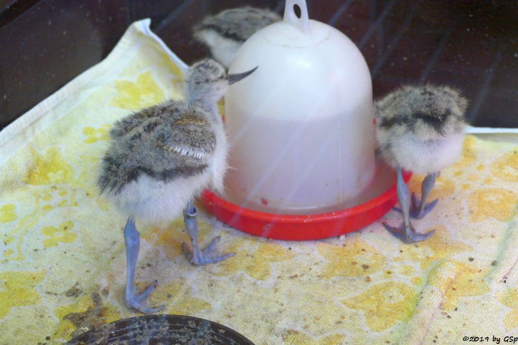Säbelschnäbler, geschlüpft am 2.6.19 (16 Tage alt)