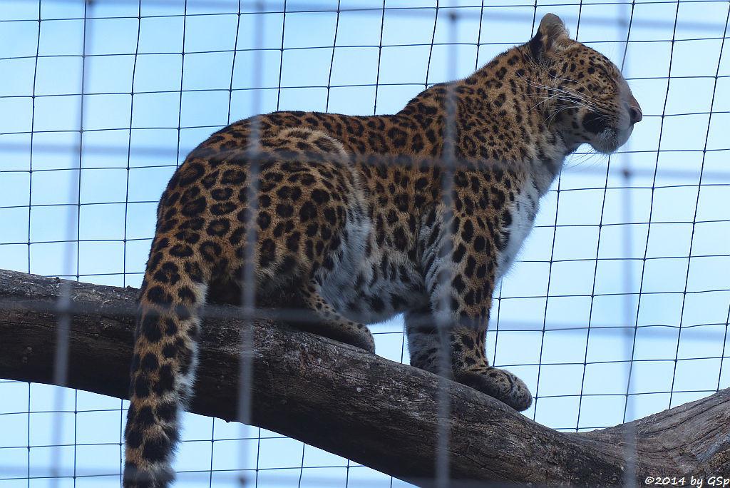 China-Leopard