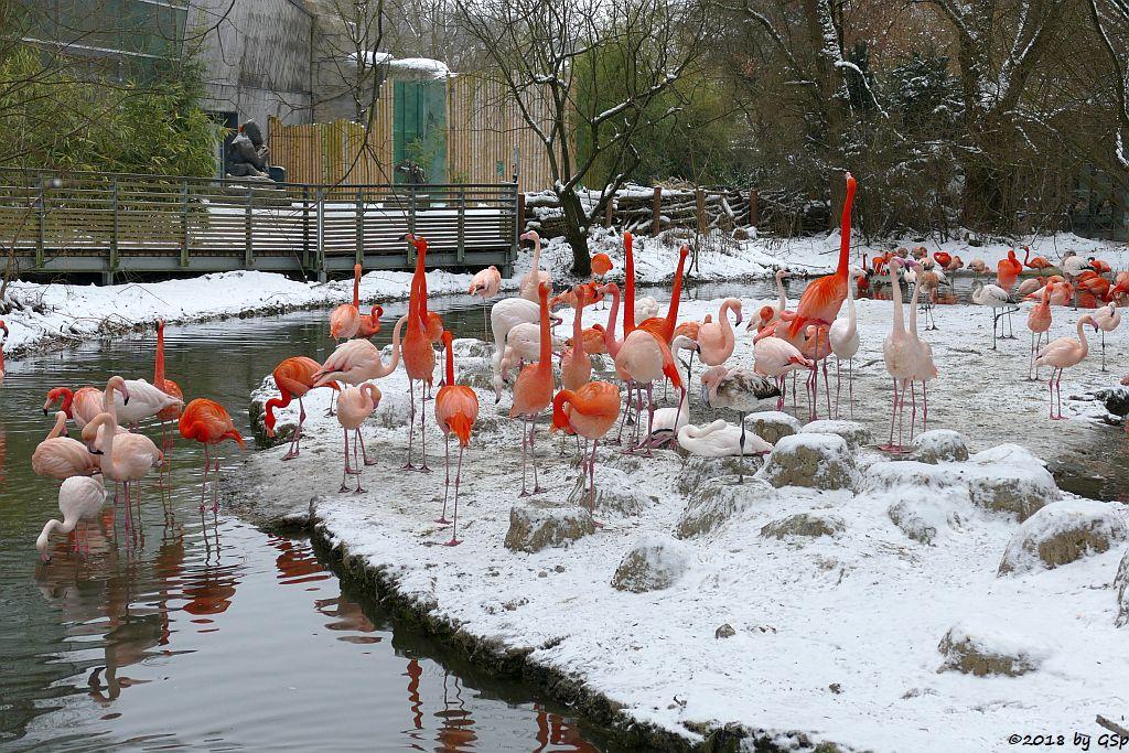 Kubaflamingo (Kubanischer Flamingo, Roter Flamingo), Rosaflamingo (Europäischer Flamingo)