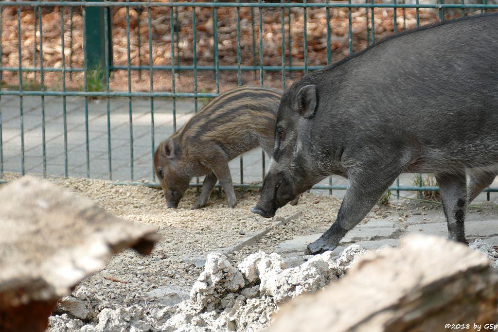 Negros-Pustelschwein (Visayas-Pustelschwein, Visayas Mähnenschwein), Jungtier geb. 17.7.18