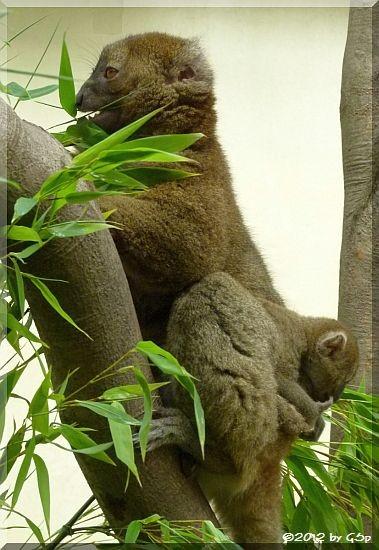 Großer Bambuslemur KAYA mit ihrem Baby, geb. am 25.6.12