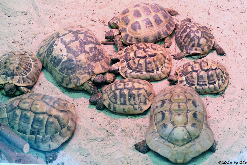 Breitrand-, Griech. u. Maur. Landschildkröte