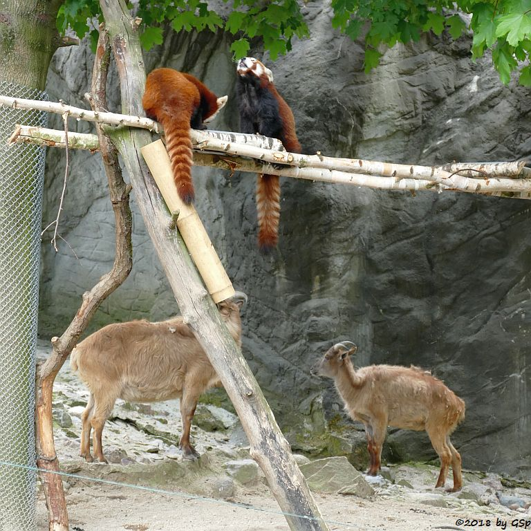 Westlicher Kleiner Panda (Westlicher Katzenbär, (Nepalesischer Katzenbär, Nepalesischer Roter Panda), Himalaya-Tahr