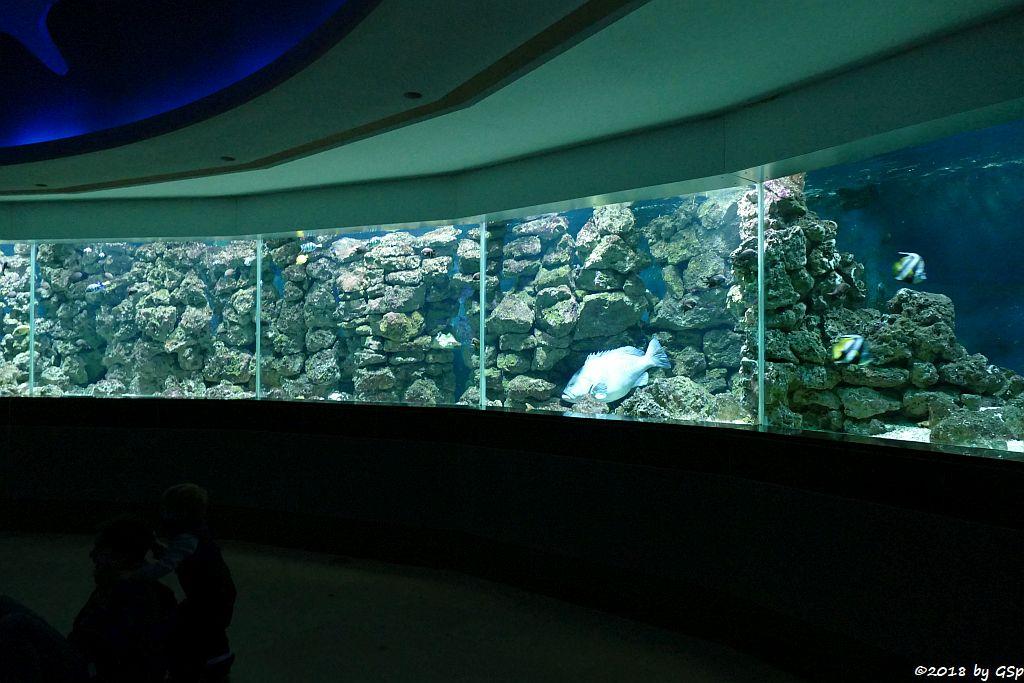 Indopazifisches Ringaquarium
