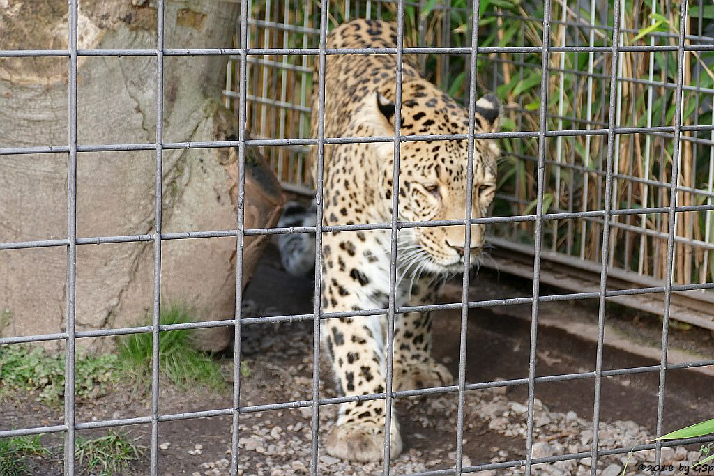 Nordpersischer Leopard (Afghanischer Leopard) AMAN, geb. 24.5.06 in Köln
