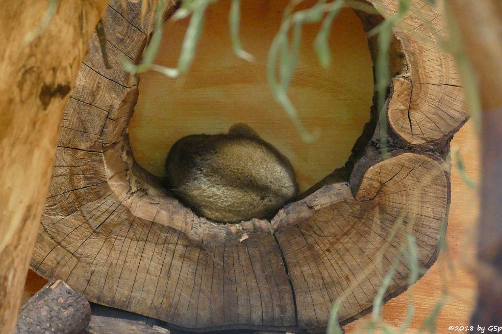Wickelbär (Honigbär, Kankaju)