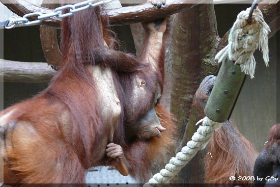 Borneo-Orang-Utan Sungai, geb.28.07.04