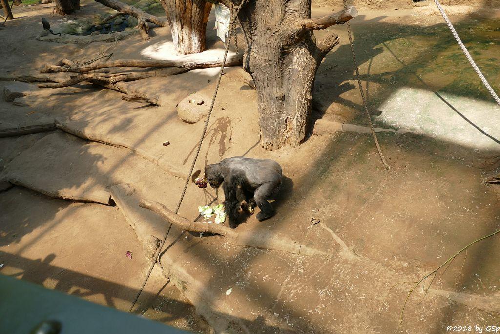 Brazza-Meerkatze, Flachlandgorilla