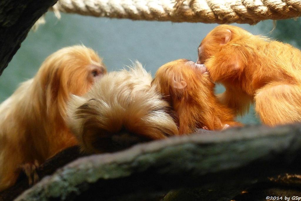 Goldgelbes Löwenäffchen, Jungtiere geb. am. 21.3.14