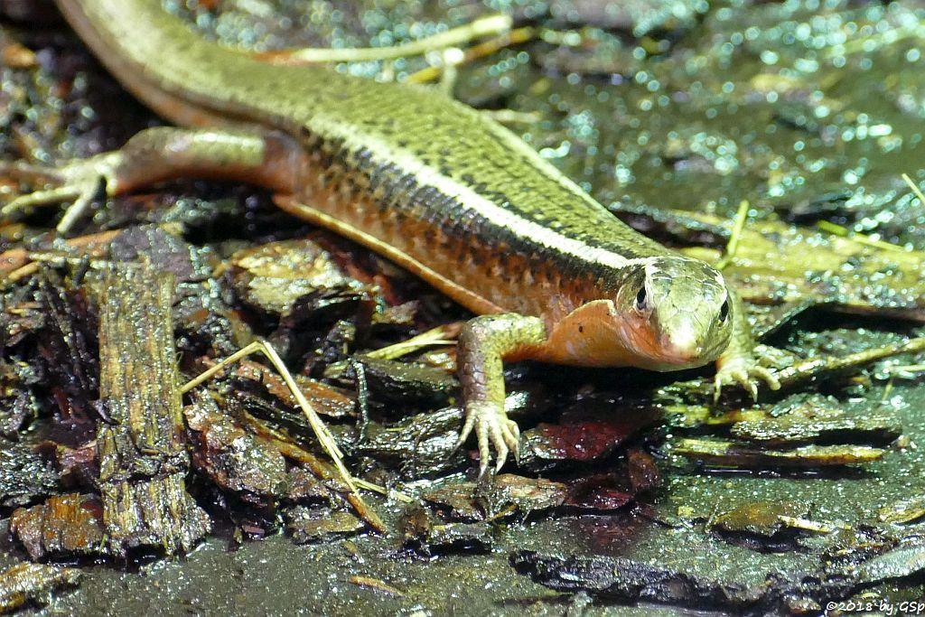 Madagaskar-Ringelschildechse (Madagaskar-Schildechse)