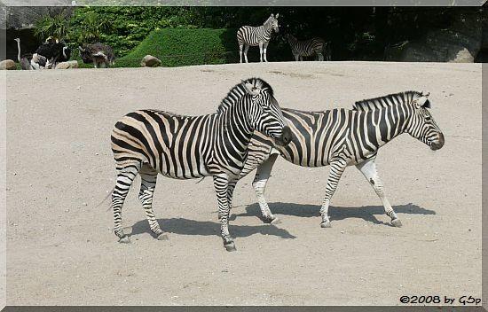 Chapman-Zebra, Blauhalsstrauß