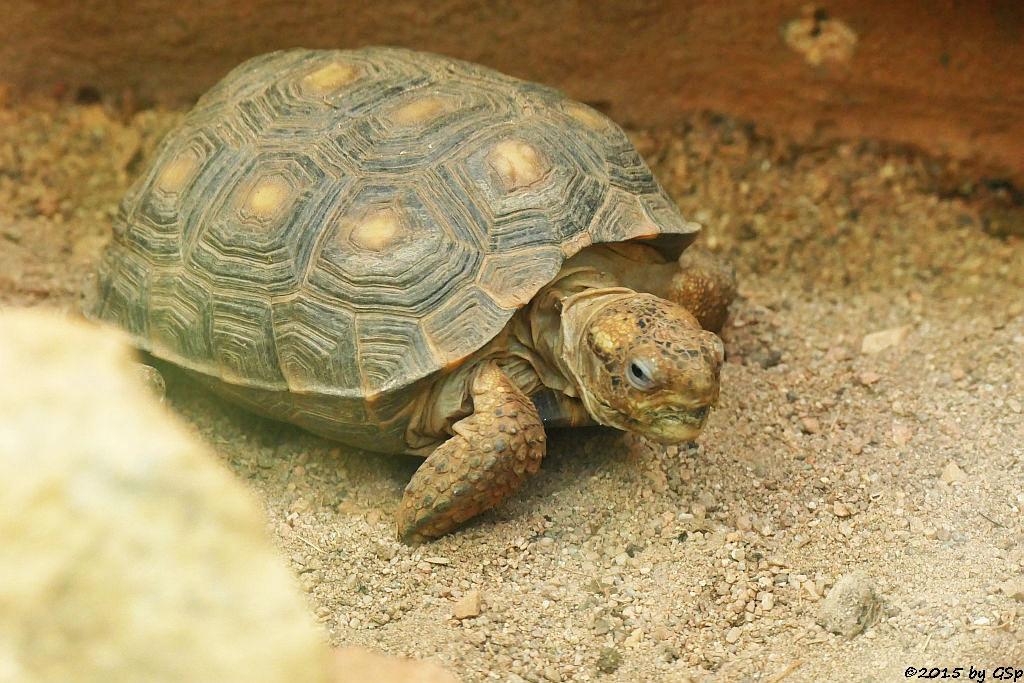 Texas-Gopherkschildkröte