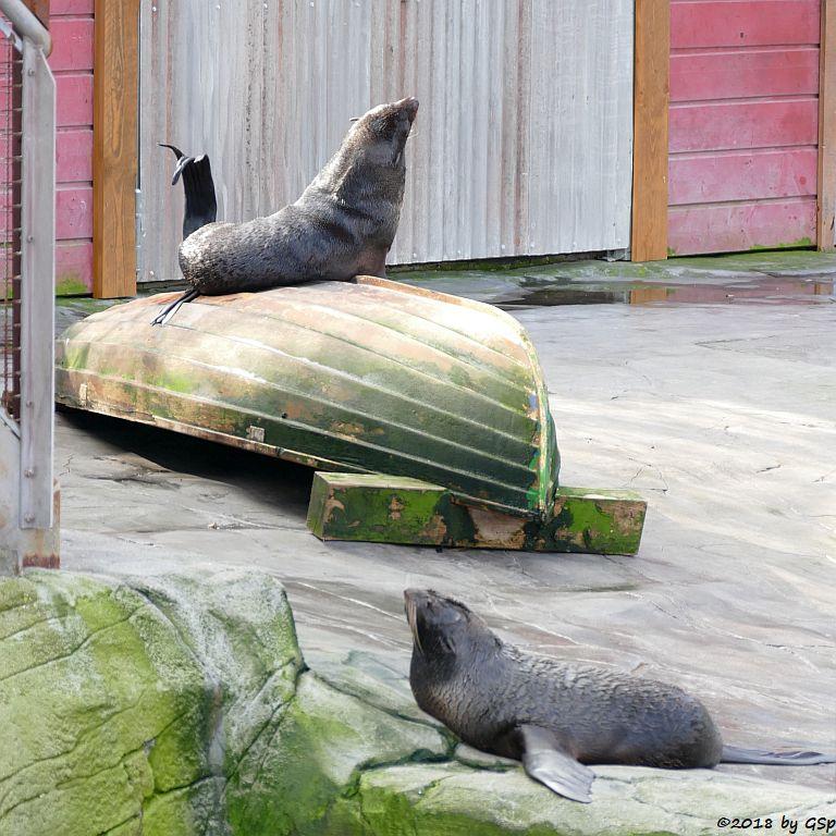 Nördlicher Seebär (Nördliche Bärenrobbe)