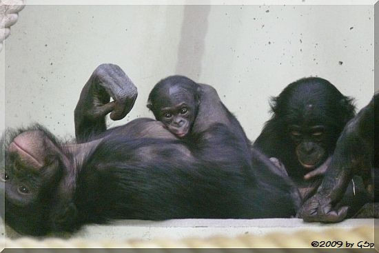 Bonobo, Jungtier geb. am 26.10.09