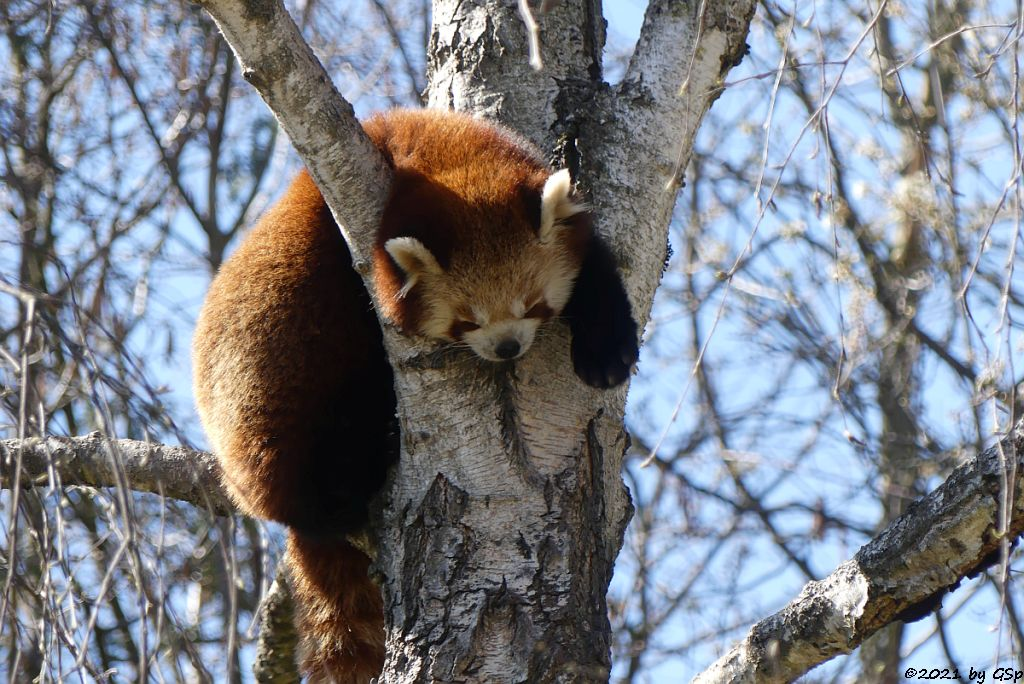 Westlicher Kleiner Panda (Westlicher Katzenbär, Nepalesischer Roter Panda)