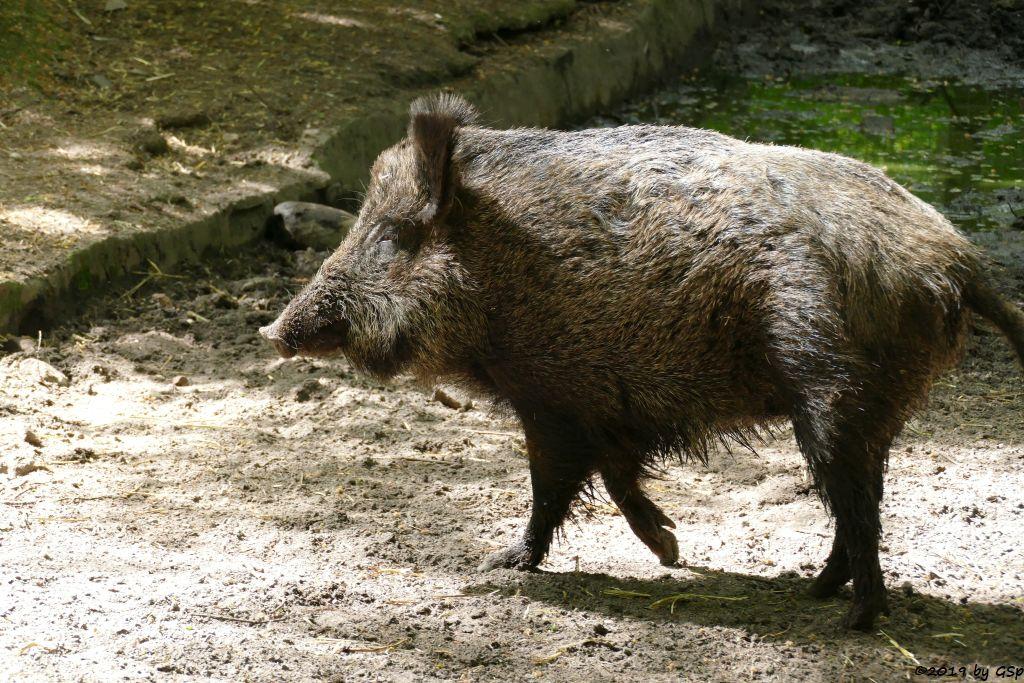 Mitteleuropäisches Wildschwein
