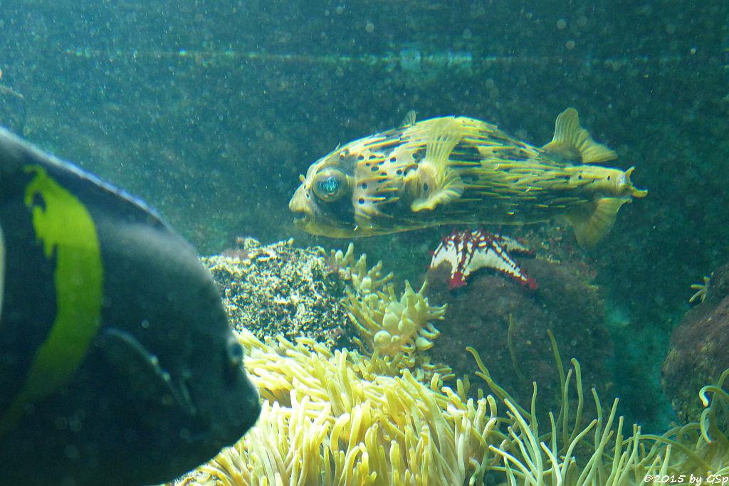 Mondsichel-Kaiserfisch, Braunflecken-Igelfisch, Lincks Walzenseestern