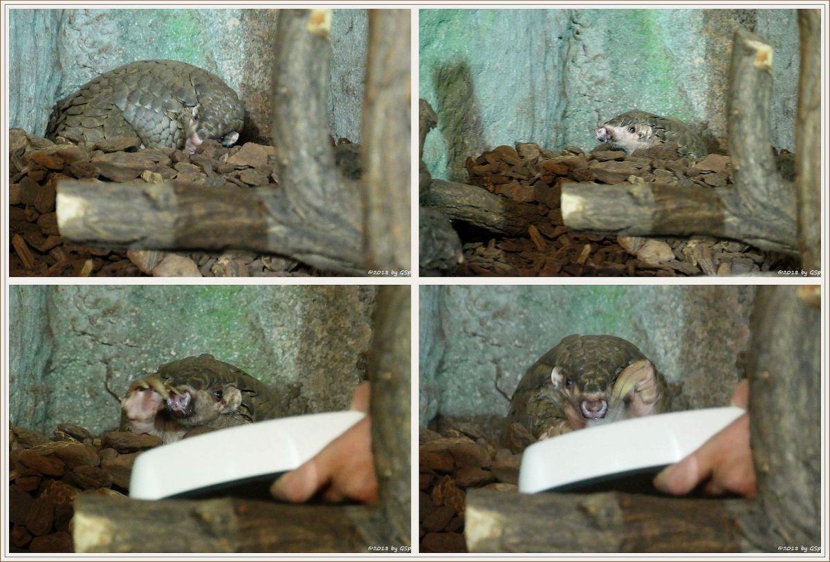 Formosa-Ohrenschuppentier