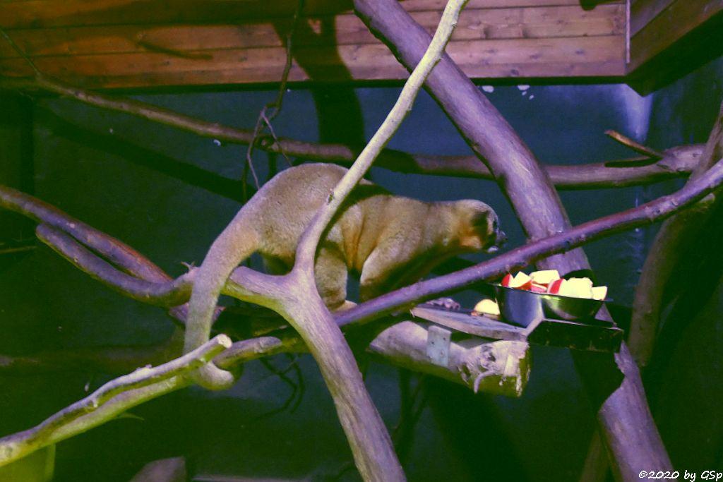 Wickelbär (Honigbär, Kinkaju)
