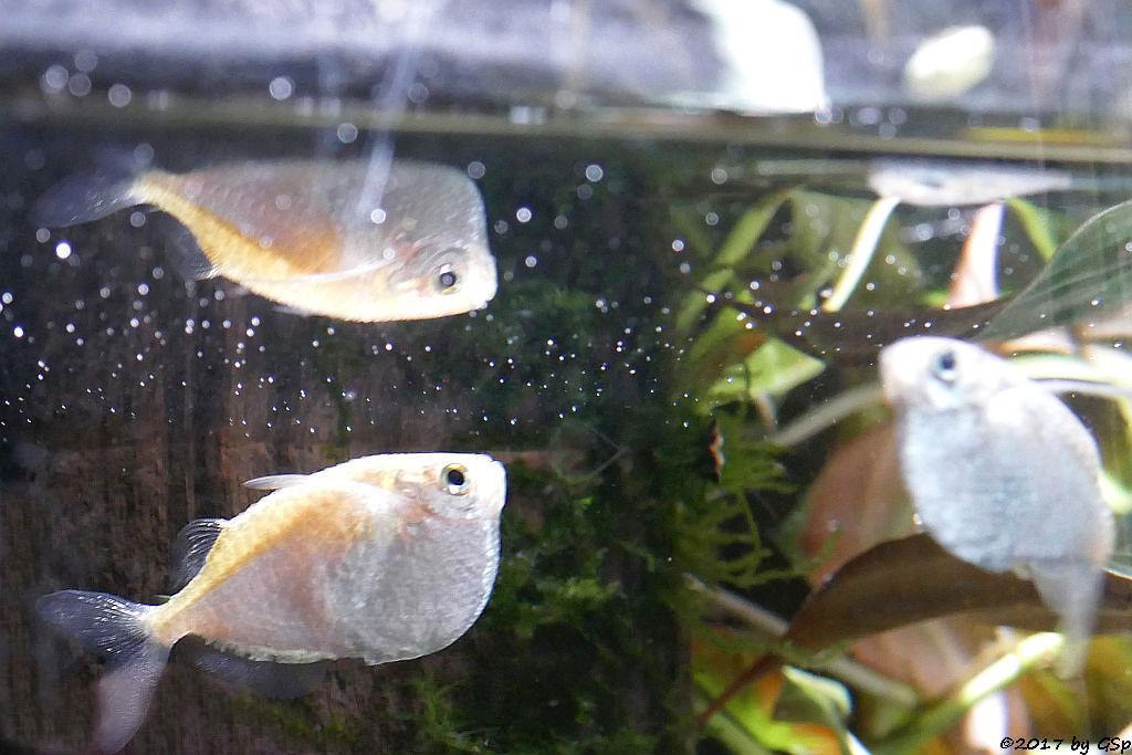 Riesenbeilbauch (Diskus-Beilbauchfisch)