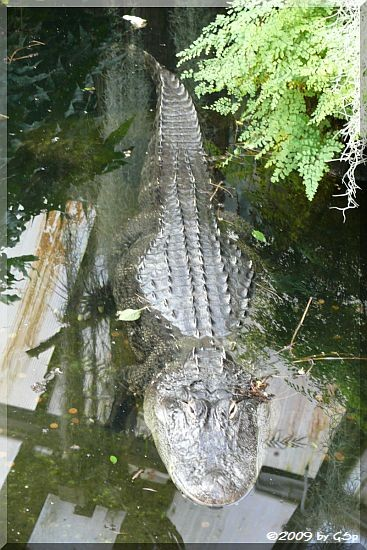 Hecht- oder Mississippi-Alligator