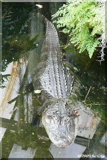 Hecht- oder Mississippi-Alligator