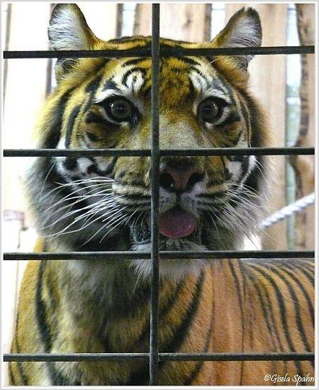 Sumatra-Tigerin KIM