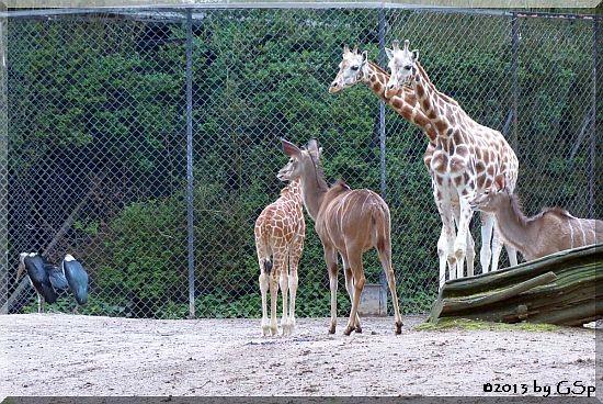 Marabu, Rothschildgiraffe, Großer Kudu